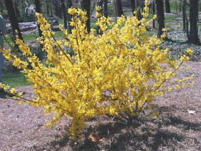 Forsythia viridissima Weber's Favorit