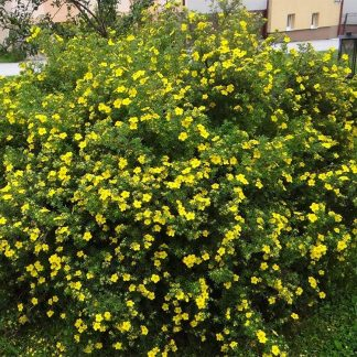 Sárga virágú cserjés pimpó