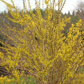 tarka levelű aranyfa