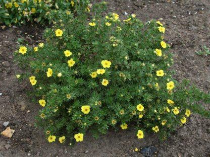 törpe, sárga virágú pimpó