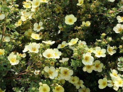 Világossárga virágú cserjés pimpó