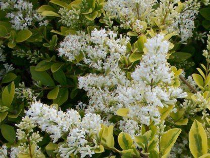 virágzó aranytarka levelű fagyal