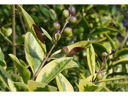 aranytarka levelű fagyal érő termése