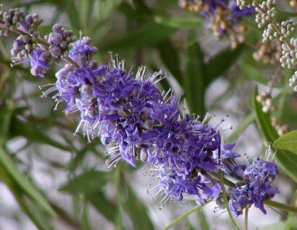 illatos barátcserje virágzata