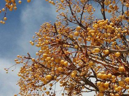 imafüzér termése