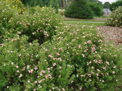rózsaszín virágú cserjés pimpó