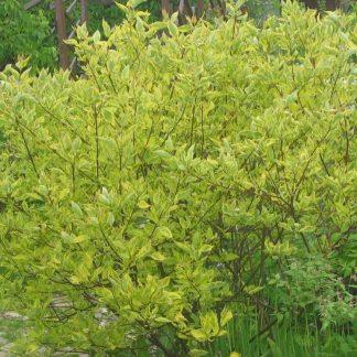 Sárga tarka levelű som