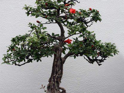 törpe gránátalma bonsai