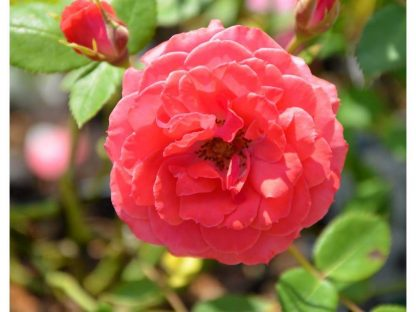 Heidesinfonie mini rózsa virága