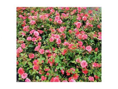 Heidesinfonie mini rózsa