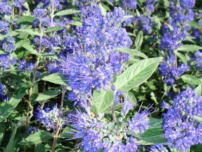 keskenylevelű angol kékszakáll virágzata