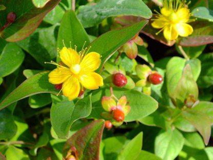 bogyós orbáncfű termés és virág