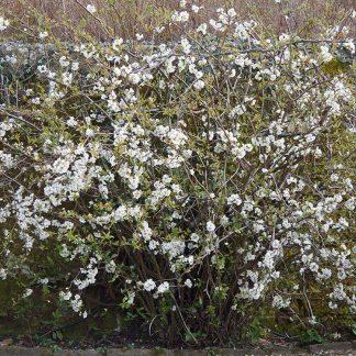 fehér virágú japánbirs