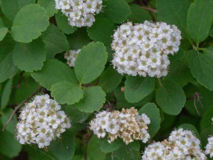 kerti gyöngyvessző virágzata