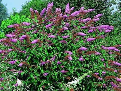 liláspiros virágú nyáriorgona