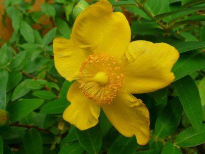 nagyvirágú orbáncfű virága