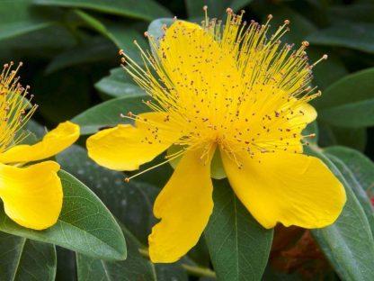 örökzöld orbáncfű virága
