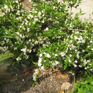 rózsalonc alba