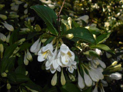 rózsalonc alba virága