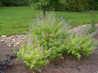 sárgatarka levelű kékszakáll