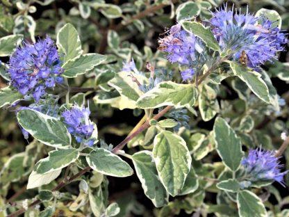 virágos tarka levelű kékszakáll