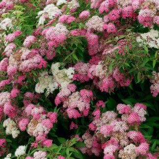 fehér-rózsaszín virágú japán gyöngyvessző
