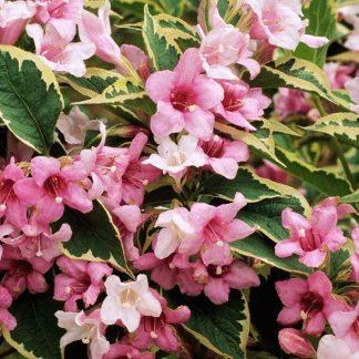 Sárga-tarka levelű rózsalonc