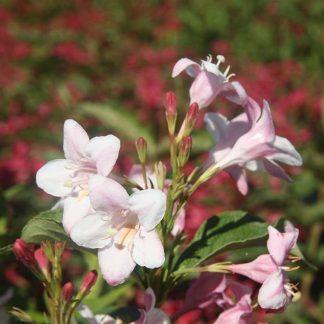 Halvány rózsaszín virágú rózsalonc