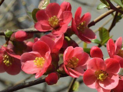 Piros virágú japánbirs