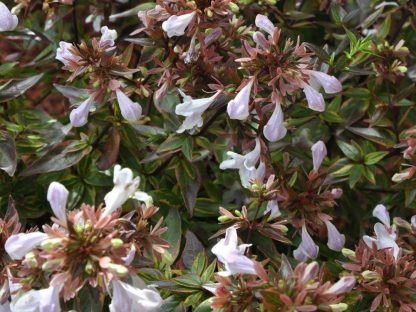 virágzó tarka levelű tárnicslonc