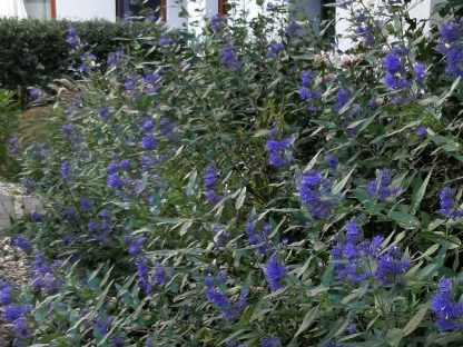 kínai kékszakáll Kew Blue