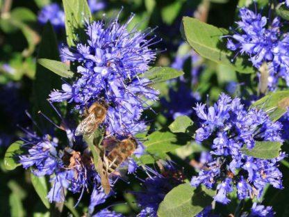 kínai kékszakáll Kew Blue virágzat
