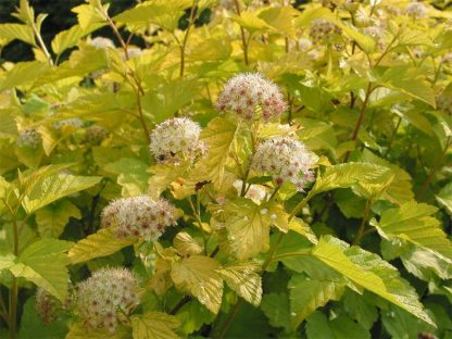sárga levelű hólyagvessző