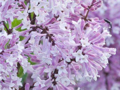 törpeorgona virágzata