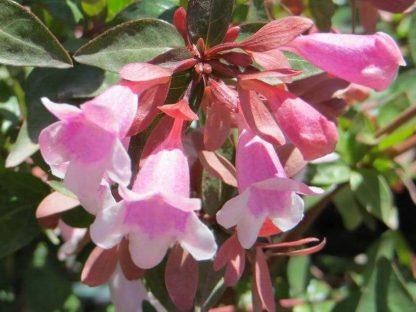 nagyvirágú tárnicslonc virága