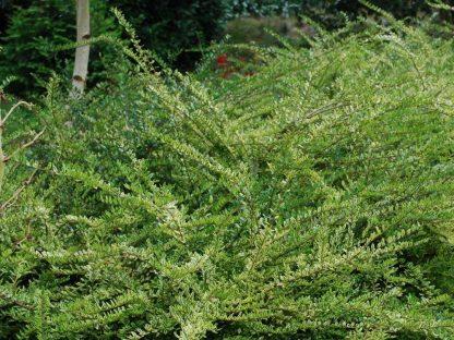 sárgatarka levelű mirtuszlonc