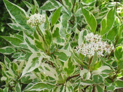 fehértarka levelű díszsom