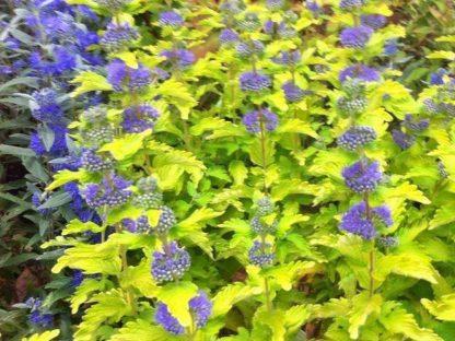 sárga levelű kékszakáll